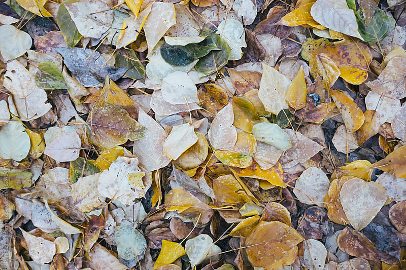 Pile of frost covered of cottonwood leaves in autumn by Paul Edmondson for Stocksy United