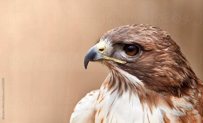 Red Tailed Hawk Closeup Headshot by Brandon Alms for Stocksy United