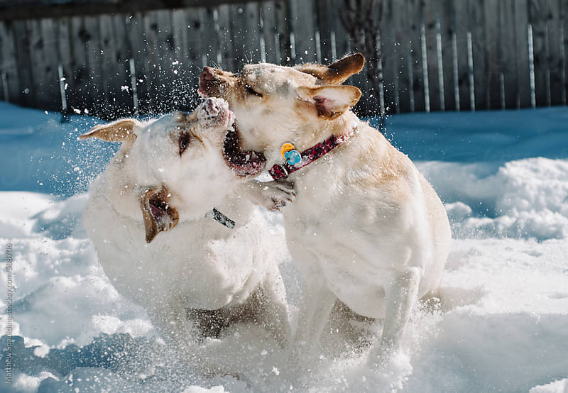 Two labrador dog siblings play fighting and attacking in snow by Matthew Spaulding for Stocksy United