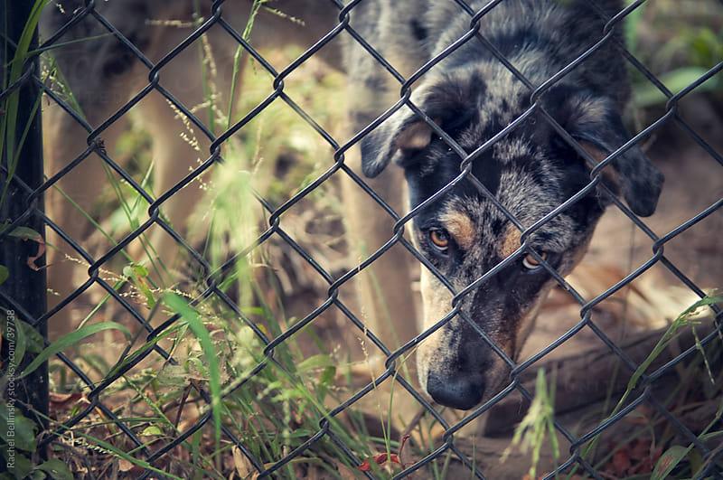 Dog gazes through gated yard with sad eyes by Rachel Bellinsky for Stocksy United