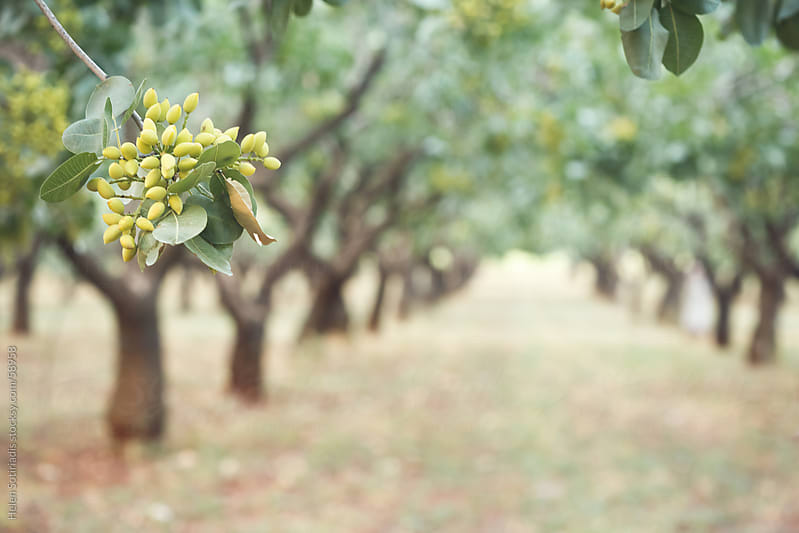 Pistachio trees by Helen Sotiriadis for Stocksy United