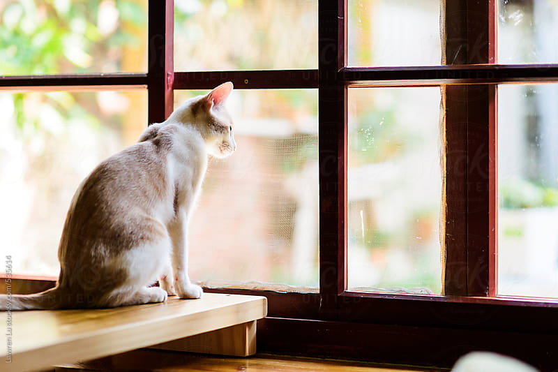 Cat sitting on wooden table looking through large window into the yard by Lawren Lu for Stocksy United