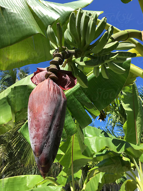 Banana flower on a tree by Felix Hug for Stocksy United