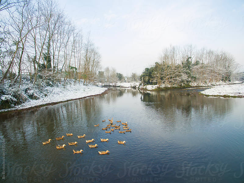 duck in the small reiver in the winter by Bo Bo for Stocksy United