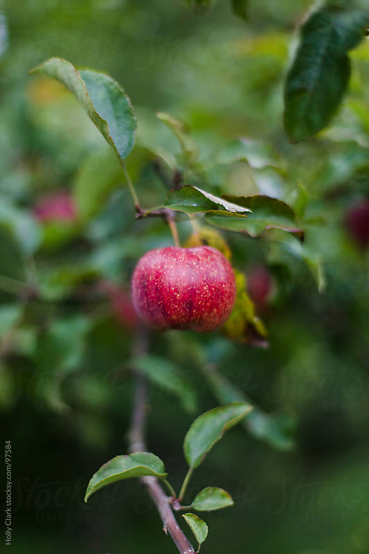A ripe apple hanging on the branch of an apple tree. by Holly Clark for Stocksy United