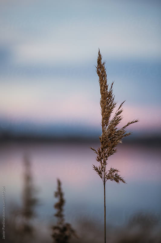details of dried plants at sunset by Javier Pardina for Stocksy United