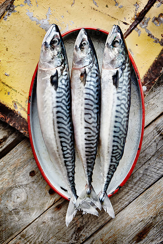 Three fresh mackerel by James Ross for Stocksy United