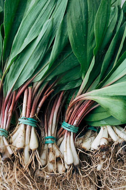 Bunches of fresh ramps by Kristin Duvall for Stocksy United