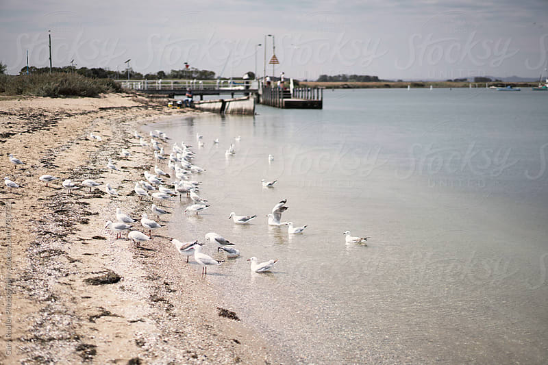 Flock of Seagulls on a Beach by Gary Radler Photography for Stocksy United