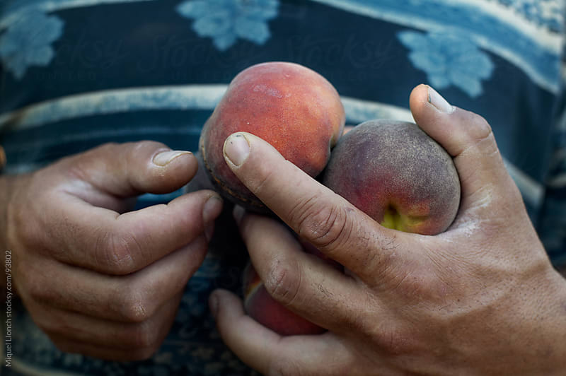 Close up of farmer hands holding red peaches with blue tee shirt by Miquel Llonch for Stocksy United