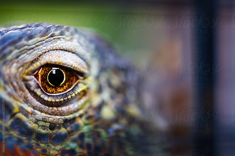 A Lizard's Eye by Helen Sotiriadis for Stocksy United