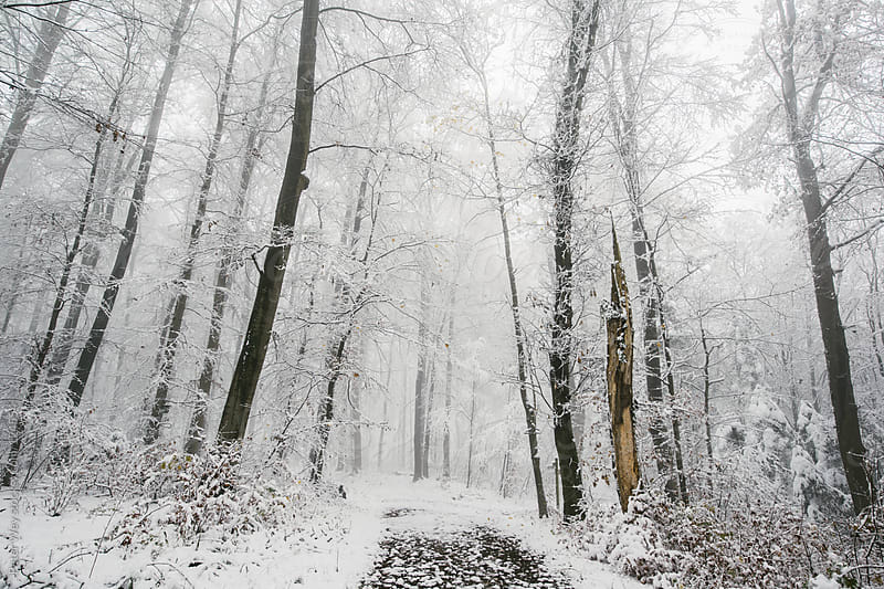 forest in winter by Peter Wey for Stocksy United