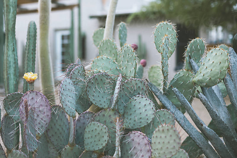 Prickly Pear cactus plant by Image Supply Co for Stocksy United