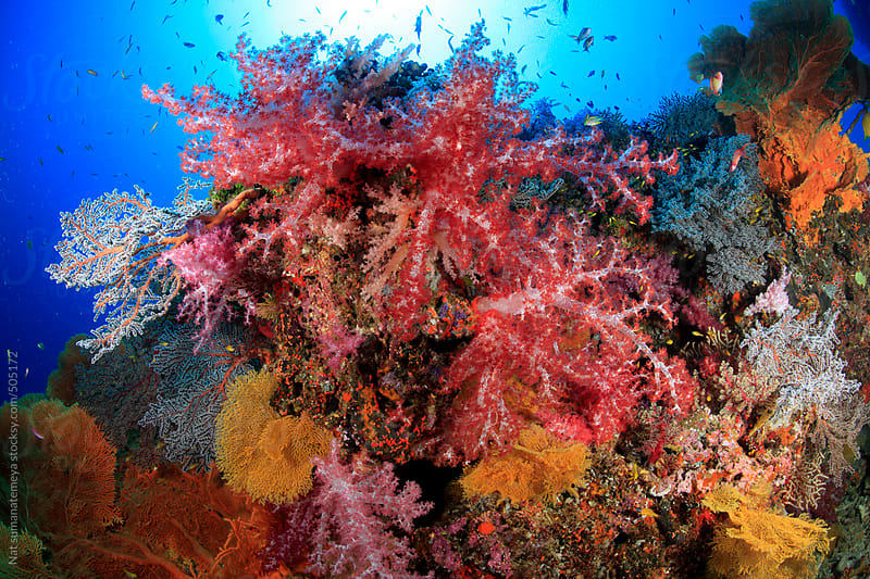 colourful coral reef by Nat sumanatemeya for Stocksy United
