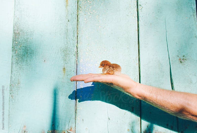 Hand holding up a baby chick in front of a pastel coloured wall by Denni Van Huis for Stocksy United