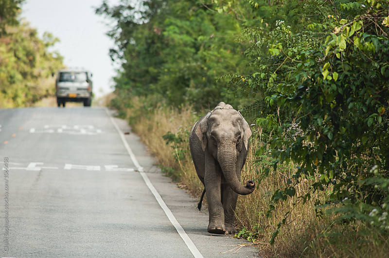 Elephant on the road by Chalit Saphaphak for Stocksy United
