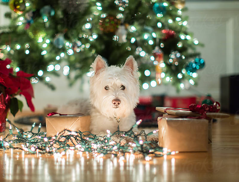 Cute dog laying among christmas lights and gifts by Jakob for Stocksy United
