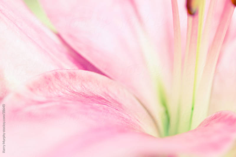Macro abstract of pink lily flower by Kerry Murphy for Stocksy United