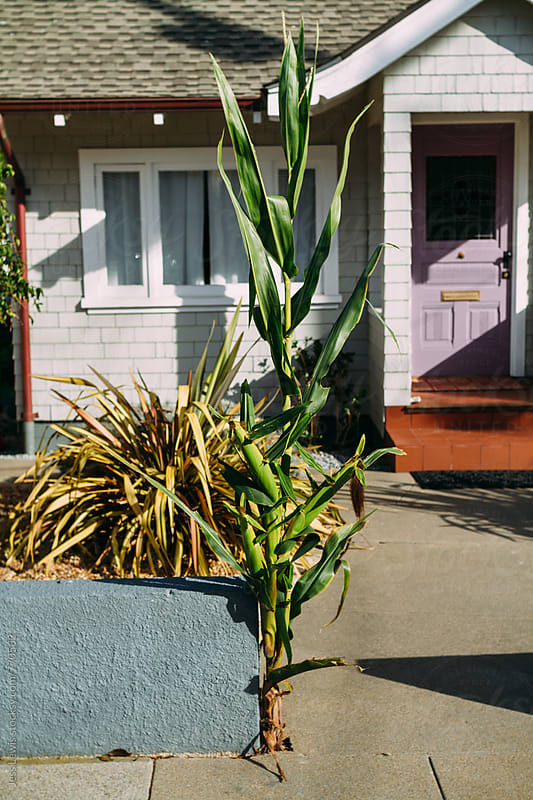 cornstalk growing in front of an city home by Jess Lewis for Stocksy United