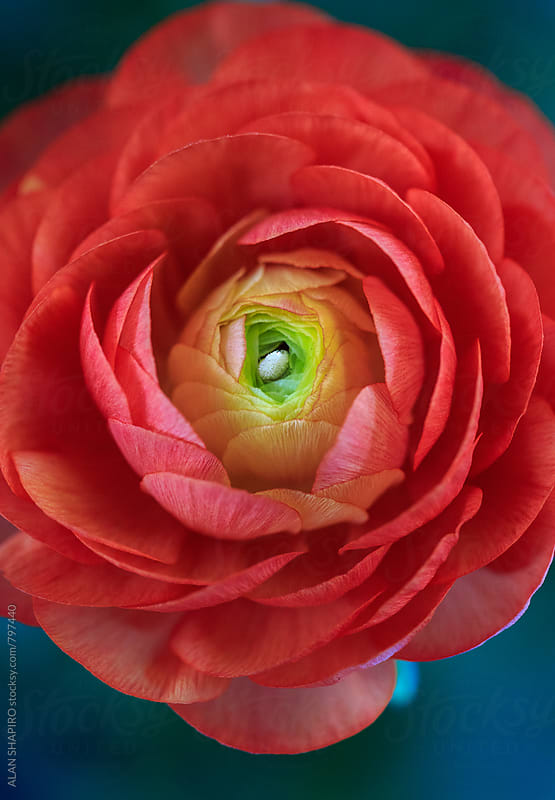 Ranunculus by alan shapiro for Stocksy United