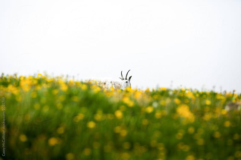 Goat in Flower Fields by Casey McCallister for Stocksy United