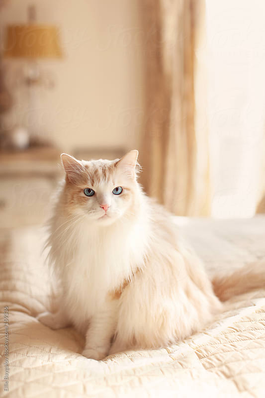 Fluffy big cat sitting on a bed by Ellie Baygulov for Stocksy United