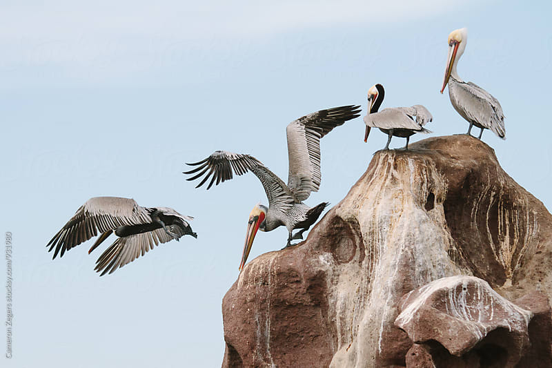 pelicans taking flight from large rock by Cameron Zegers for Stocksy United