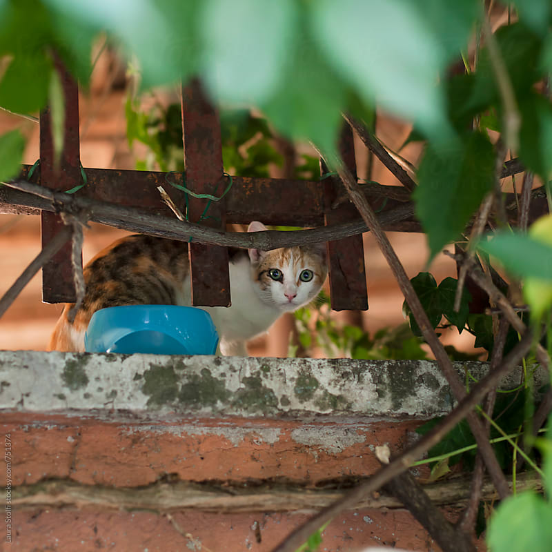 Cat standing on wall behind rusty gate and looking straight at the camera by Laura Stolfi for Stocksy United