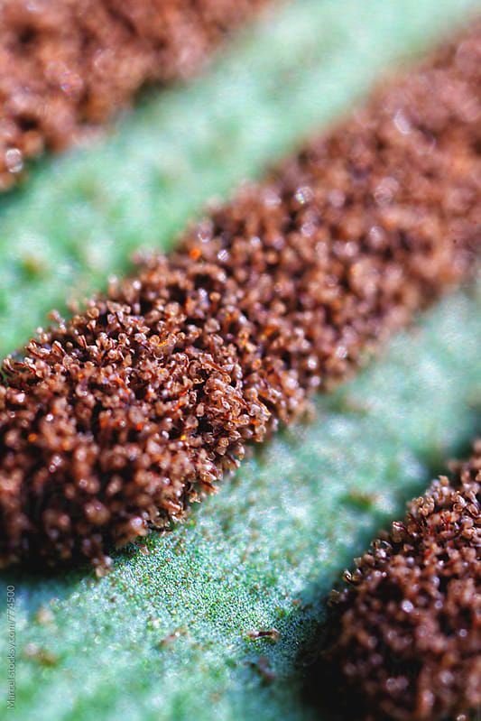 Extreme close up of spores on the underside of a fernleaf by Marcel for Stocksy United