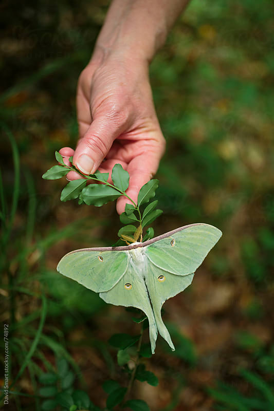Luna Moth perched on the underside of a twig being held by hand by David Smart for Stocksy United