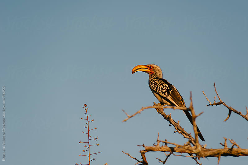 Yellow Hornbill by Bruce and Rebecca Meissner for Stocksy United