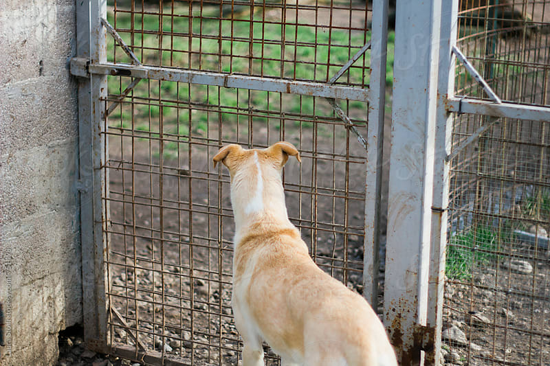 Rear sight of handsome dog looking behind fenced area in dog pound by Laura Stolfi for Stocksy United