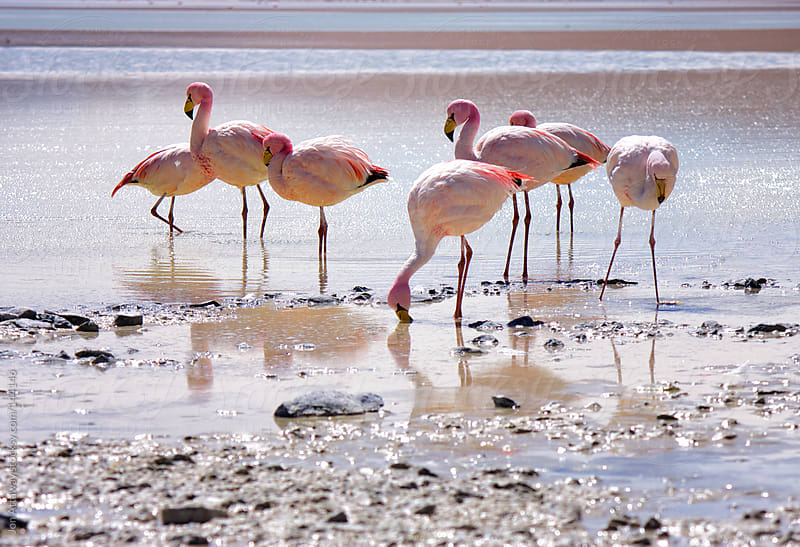Flamingoes gathering by Jon Attaway for Stocksy United