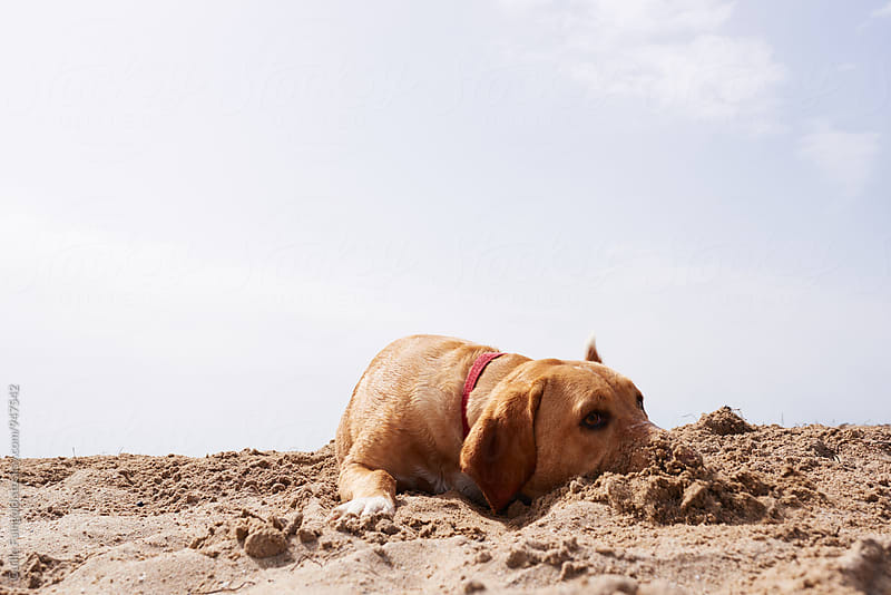 Labrador with digged nose in sand by Guille Faingold for Stocksy United