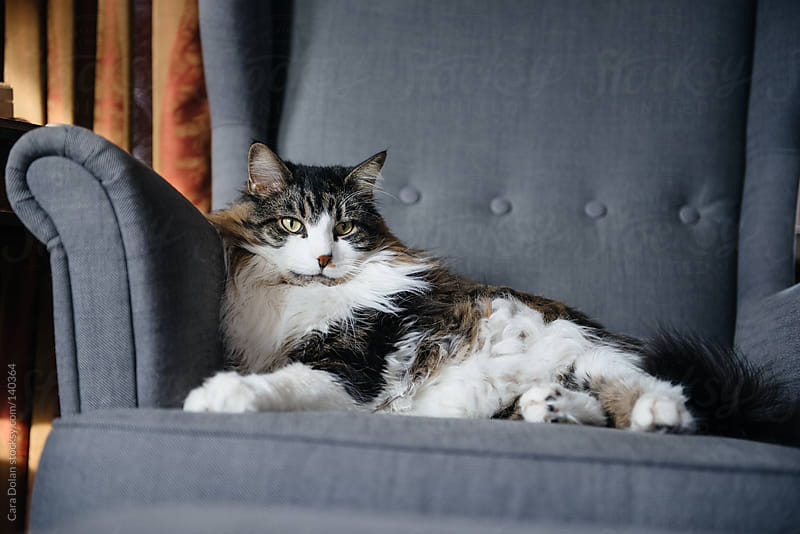 Large Maine coon cat relaxes like royalty in a living room chair by Cara Dolan for Stocksy United