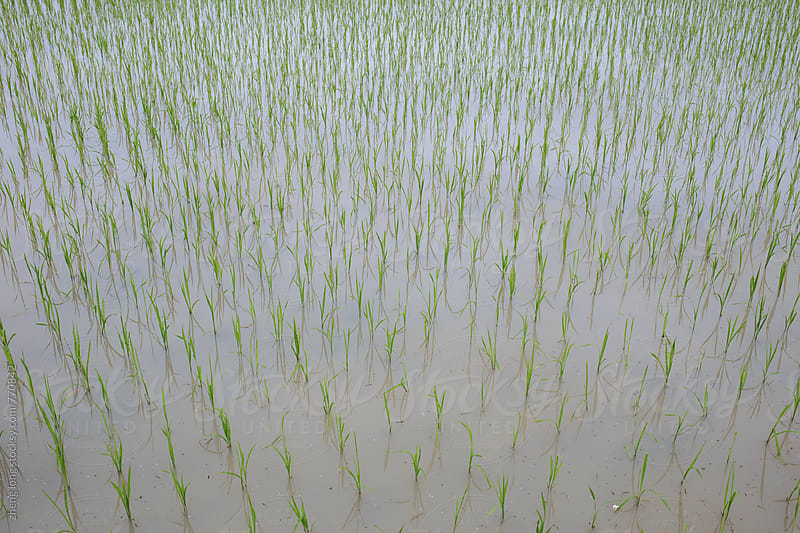rice field in China by zheng long for Stocksy United