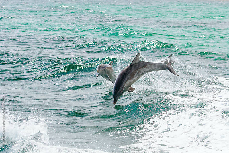 mother and baby dolphin by Cameron Zegers for Stocksy United