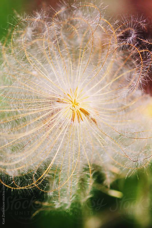 Fluffy sunlit flower  by Kaat Zoetekouw for Stocksy United