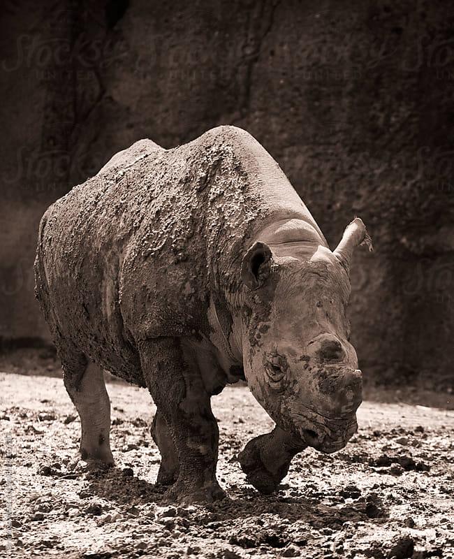 Endangered Black Rhinoceros Walking in Mud by Brandon Alms for Stocksy United