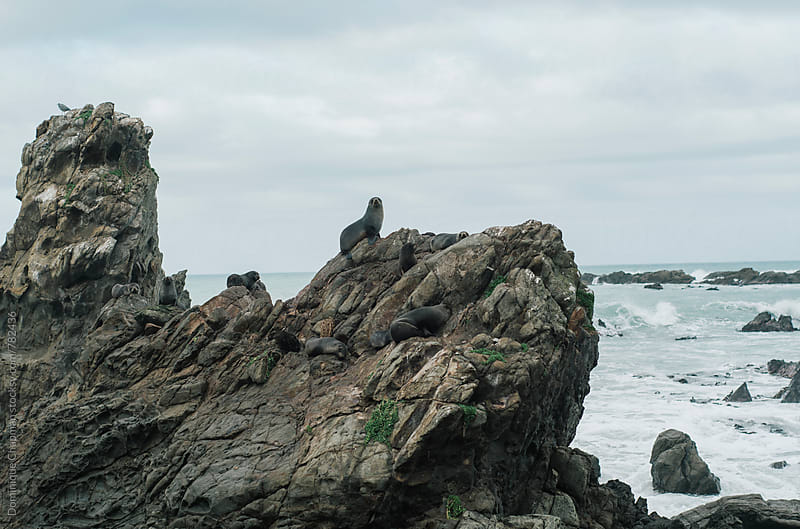 Colony of seals on rocks by Dominique Chapman for Stocksy United