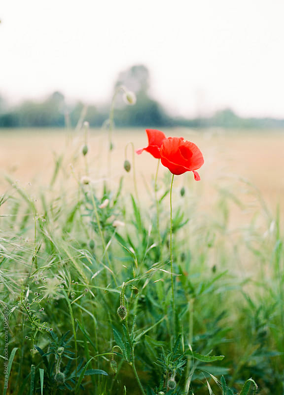A poppy and many buds  close to cultivated field  by Laura Stolfi for Stocksy United