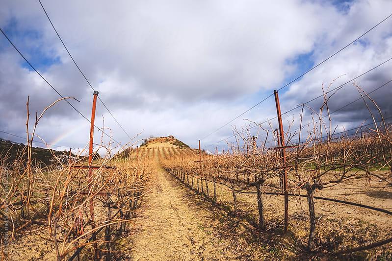 Winter Vineyard by Helen Sotiriadis for Stocksy United