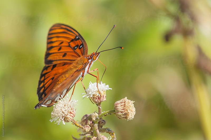 Gulf Fritillary butterfly feeding from a flower by David Smart for Stocksy United