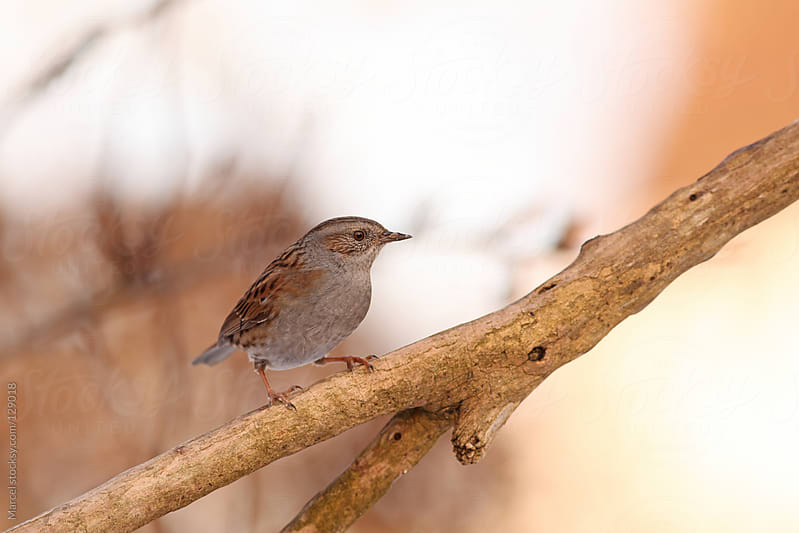 Dunnock on a branch by Marcel for Stocksy United