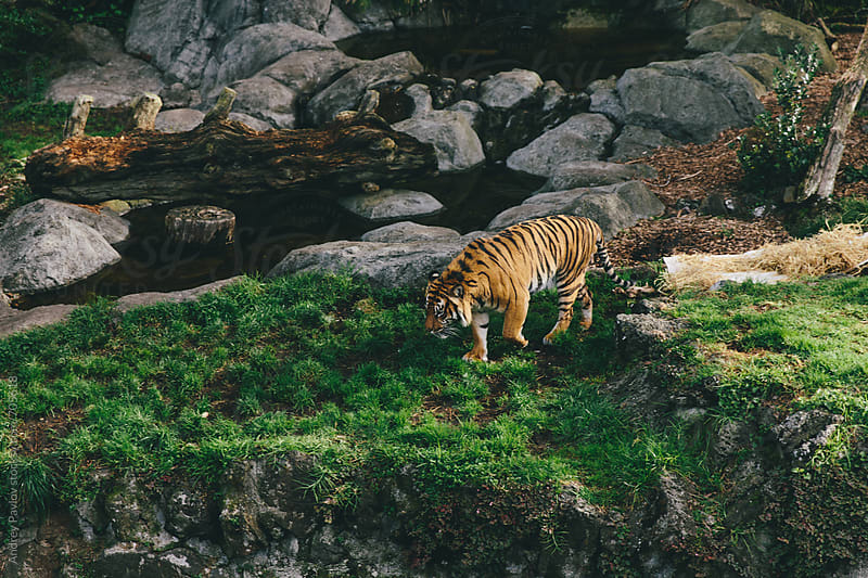 Tiger walking near a pond by Andrey Pavlov for Stocksy United