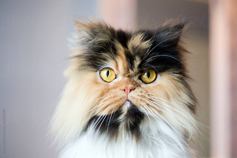 Calico Persian Cat by Cara Slifka for Stocksy United