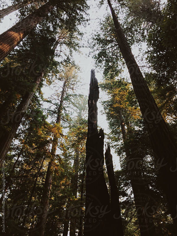 Redwood Trees by Dylan M Howell Photography for Stocksy United
