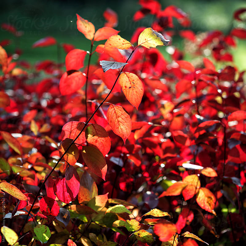 Red leaves in fall by Marcel for Stocksy United