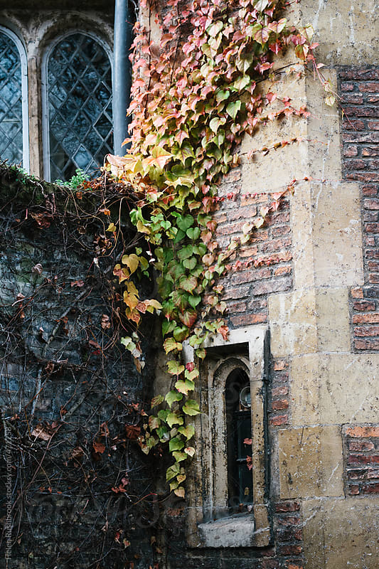 Virginia Creeper on an old building by Helen Rushbrook for Stocksy United