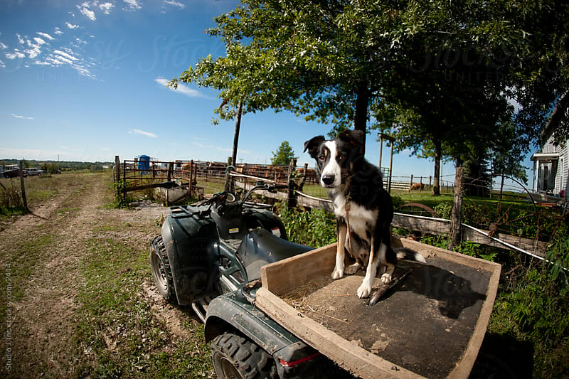Austrailian Shepherd Dog Sitting in Wagon on Farm by Jani Bryson for Stocksy United
